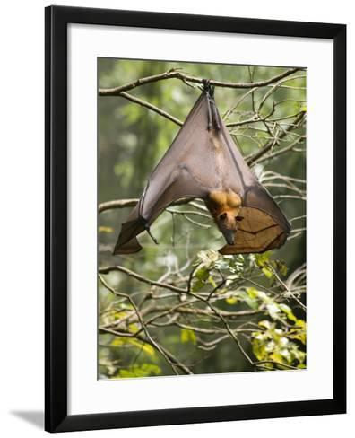 Fruit Bat (Flying Fox) (Chiroptera, Pteropodidae)-Rolf Richardson-Framed Art Print