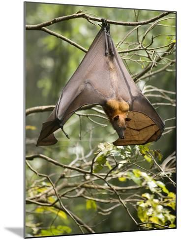 Fruit Bat (Flying Fox) (Chiroptera, Pteropodidae)-Rolf Richardson-Mounted Photographic Print