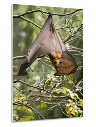 Fruit Bat (Flying Fox) (Chiroptera, Pteropodidae)-Rolf Richardson-Metal Print
