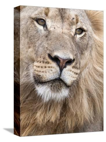 Male Lion (Panthera Leo), Addo National Park, Eastern Cape, South Africa, Africa-Ann & Steve Toon-Stretched Canvas Print
