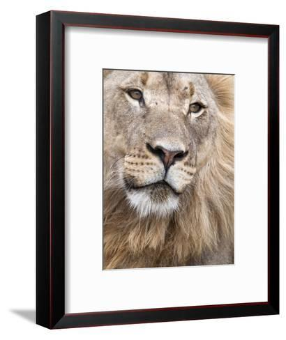 Male Lion (Panthera Leo), Addo National Park, Eastern Cape, South Africa, Africa-Ann & Steve Toon-Framed Art Print
