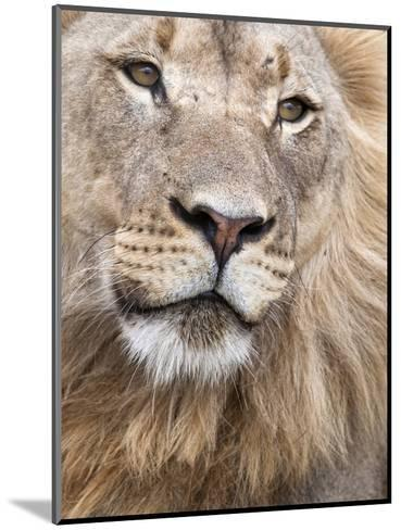 Male Lion (Panthera Leo), Addo National Park, Eastern Cape, South Africa, Africa-Ann & Steve Toon-Mounted Photographic Print