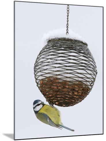 Blue Tit on Feeder in Snow, United Kingdom, Europe-Ann & Steve Toon-Mounted Photographic Print