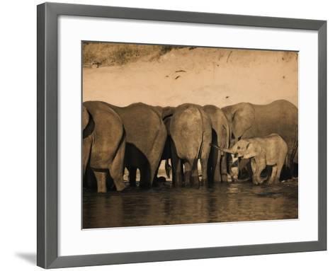 Elephants (Loxodonta Africana) in Chobe River, Botswana, Africa-Kim Walker-Framed Art Print