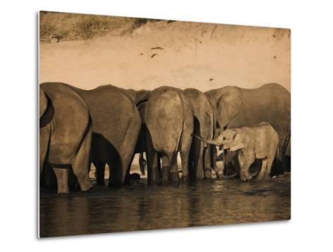 Elephants (Loxodonta Africana) in Chobe River, Botswana, Africa-Kim Walker-Metal Print