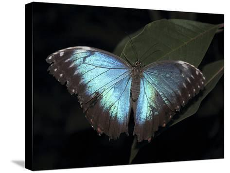 Blue Morpho Butterfly (Morpho Peleide)-Raj Kamal-Stretched Canvas Print