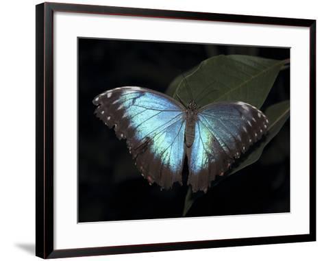 Blue Morpho Butterfly (Morpho Peleide)-Raj Kamal-Framed Art Print