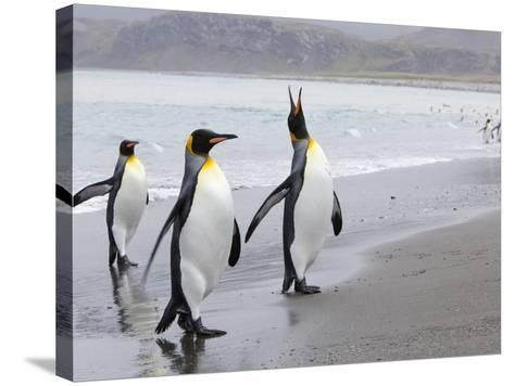 King Penguins (Aptenodytes Patagonicus), Salisbury Plain, South Georgia, Antarctic, Polar Regions-Thorsten Milse-Stretched Canvas Print