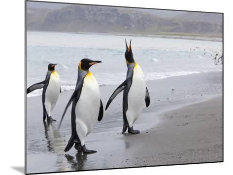King Penguins (Aptenodytes Patagonicus), Salisbury Plain, South Georgia, Antarctic, Polar Regions-Thorsten Milse-Mounted Photographic Print