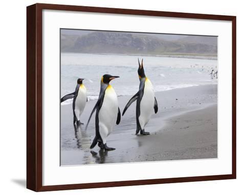 King Penguins (Aptenodytes Patagonicus), Salisbury Plain, South Georgia, Antarctic, Polar Regions-Thorsten Milse-Framed Art Print