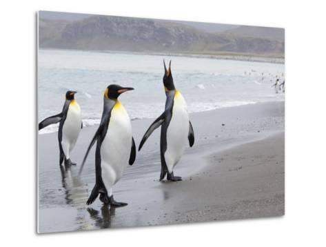 King Penguins (Aptenodytes Patagonicus), Salisbury Plain, South Georgia, Antarctic, Polar Regions-Thorsten Milse-Metal Print