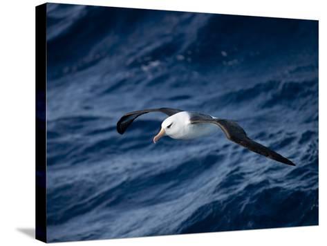 Black-Browed Albatross (Thalassarche Melanophrys), Southern Ocean, Antarctic, Polar Regions-Thorsten Milse-Stretched Canvas Print
