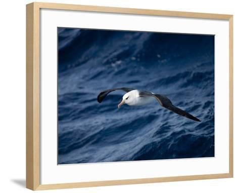 Black-Browed Albatross (Thalassarche Melanophrys), Southern Ocean, Antarctic, Polar Regions-Thorsten Milse-Framed Art Print