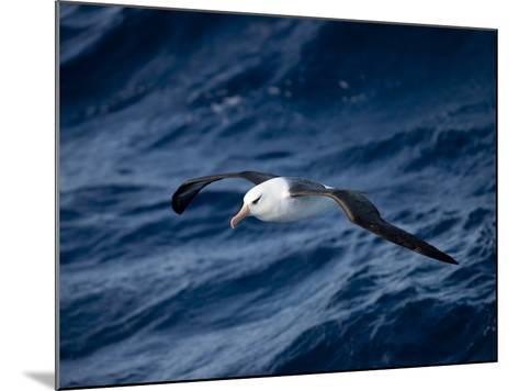 Black-Browed Albatross (Thalassarche Melanophrys), Southern Ocean, Antarctic, Polar Regions-Thorsten Milse-Mounted Photographic Print