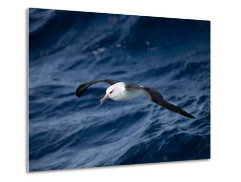 Black-Browed Albatross (Thalassarche Melanophrys), Southern Ocean, Antarctic, Polar Regions-Thorsten Milse-Metal Print
