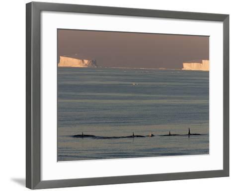 Killer Whales (Orcinus Orca) in Front of Tabular Icebergs, Southern Ocean, Antarctica-Thorsten Milse-Framed Art Print