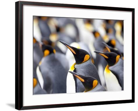King Penguin Colony (Aptenodytes Patagonicus), Gold Harbour, South Georgia, Antarctic-Thorsten Milse-Framed Art Print