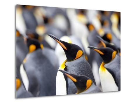 King Penguin Colony (Aptenodytes Patagonicus), Gold Harbour, South Georgia, Antarctic-Thorsten Milse-Metal Print