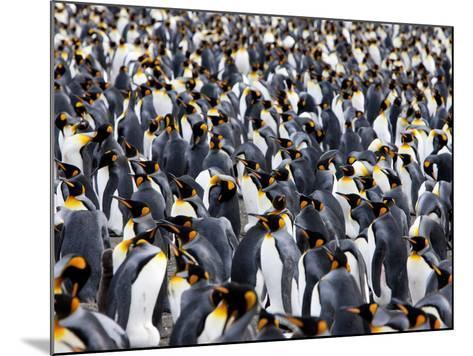 King Penguin Colony (Aptenodytes Patagonicus), Gold Harbour, South Georgia, Antarctic-Thorsten Milse-Mounted Photographic Print