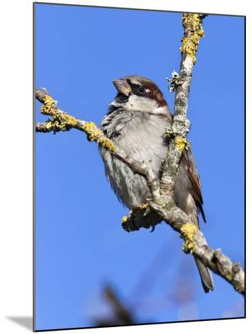 House Sparrow (Passer Domesticus), United Kingdom, Europe-Ann & Steve Toon-Mounted Photographic Print