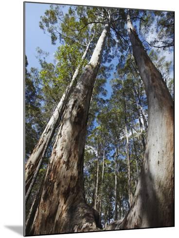 Karri Trees in Gloucester National Park, Pemberton, Western Australia, Australia, Pacific-Ian Trower-Mounted Photographic Print
