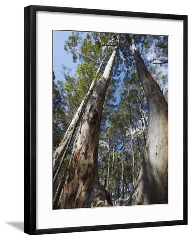 Karri Trees in Gloucester National Park, Pemberton, Western Australia, Australia, Pacific-Ian Trower-Framed Art Print