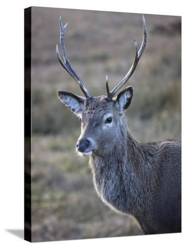 Red Deer Stag, Rannoch Moor, Near Fort William, Highland, Scotland, United Kingdom, Europe--Stretched Canvas Print