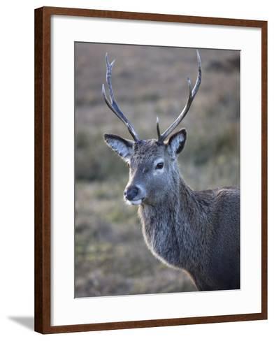 Red Deer Stag, Rannoch Moor, Near Fort William, Highland, Scotland, United Kingdom, Europe--Framed Art Print