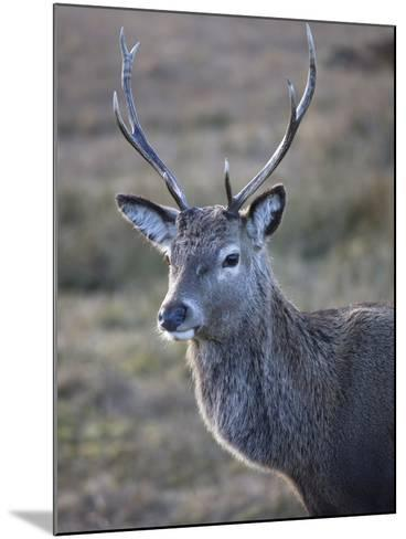 Red Deer Stag, Rannoch Moor, Near Fort William, Highland, Scotland, United Kingdom, Europe--Mounted Photographic Print