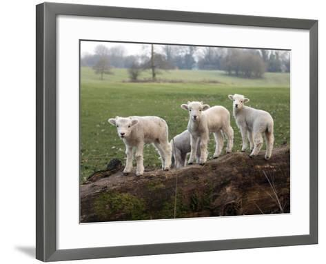 Lambs Playing on a Log in Stourhead Parkland, South Somerset, Somerset, England, United Kingdom--Framed Art Print