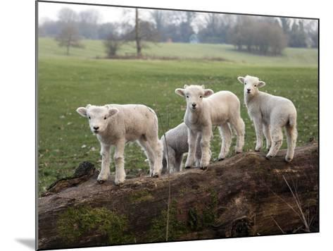 Lambs Playing on a Log in Stourhead Parkland, South Somerset, Somerset, England, United Kingdom--Mounted Photographic Print