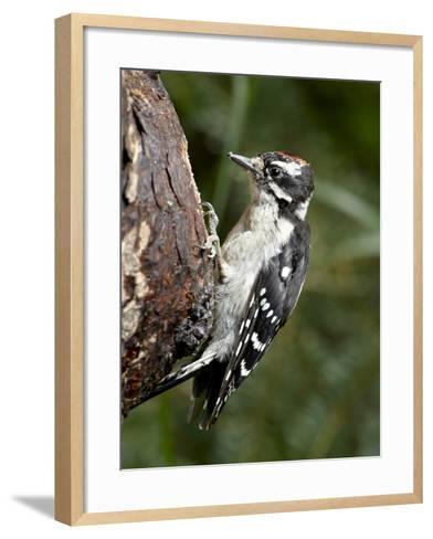 Downy Woodpecker (Picoides Pubescens), Wasilla, Alaska, United States of America, North America--Framed Art Print