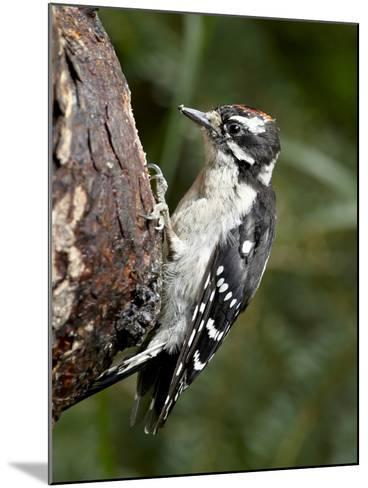Downy Woodpecker (Picoides Pubescens), Wasilla, Alaska, United States of America, North America--Mounted Photographic Print
