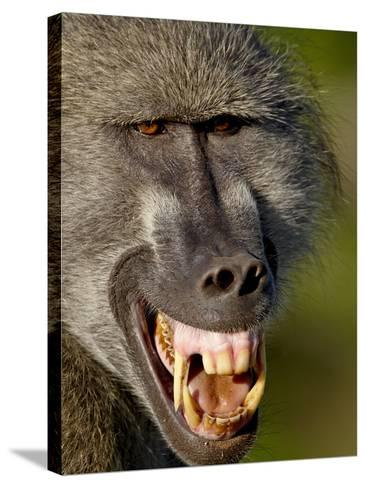 Chacma Baboon (Papio Ursinus) Baring Teeth to Show Aggression, Kruger National Park, South Africa--Stretched Canvas Print