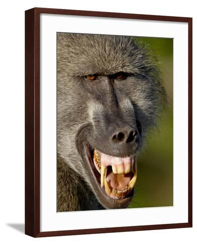 Chacma Baboon (Papio Ursinus) Baring Teeth to Show Aggression, Kruger National Park, South Africa--Framed Art Print