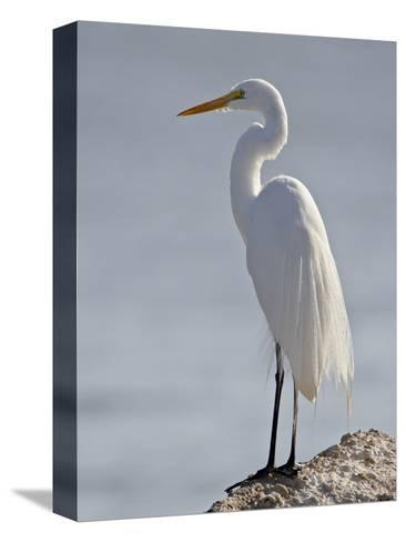 Great Egret in Breeding Plumage, Sonny Bono Salton Sea National Wildlife Refuge, California--Stretched Canvas Print