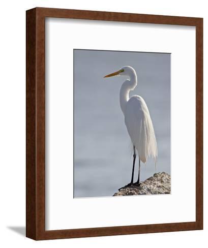 Great Egret in Breeding Plumage, Sonny Bono Salton Sea National Wildlife Refuge, California--Framed Art Print