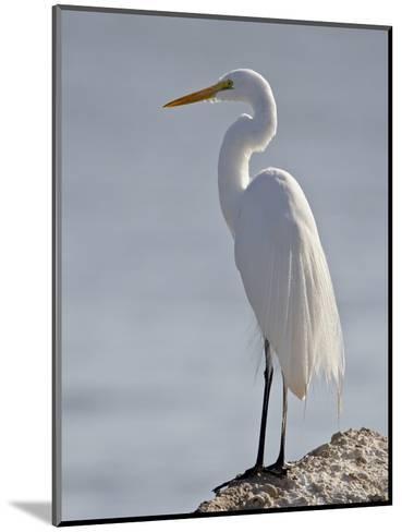 Great Egret in Breeding Plumage, Sonny Bono Salton Sea National Wildlife Refuge, California--Mounted Photographic Print