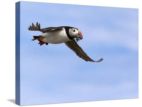 Puffin (Fratercula Arctica), With Fish, Farne Islands, Northumberland, England, United Kingdom--Stretched Canvas Print