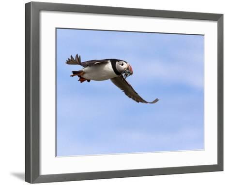 Puffin (Fratercula Arctica), With Fish, Farne Islands, Northumberland, England, United Kingdom--Framed Art Print