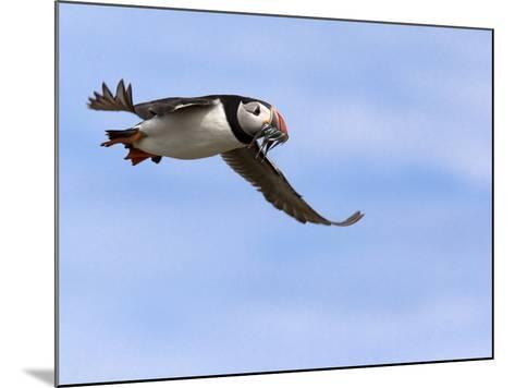 Puffin (Fratercula Arctica), With Fish, Farne Islands, Northumberland, England, United Kingdom--Mounted Photographic Print