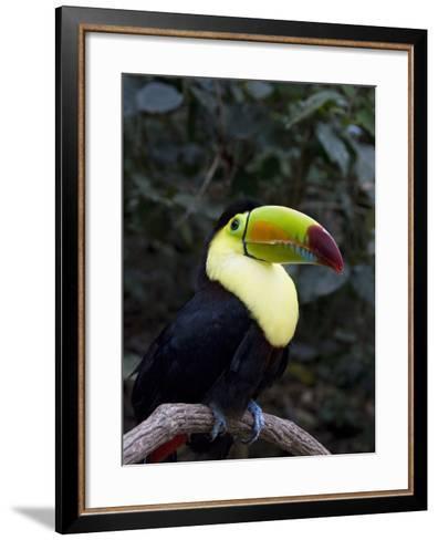 Keel-Billed Toucan (Rainbow-Billed Toucan), Macaw Mountain Bird Park, Near Copan, Honduras--Framed Art Print