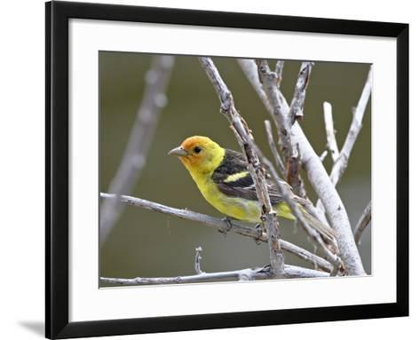 Male Western Tanager (Piranga Ludoviciana), Near Oliver, British Columbia, Canada, North America--Framed Art Print