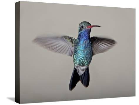 Male Broad-Billed Hummingbird in Flight, Madera Canyon, Coronado National Forest, Arizona--Stretched Canvas Print