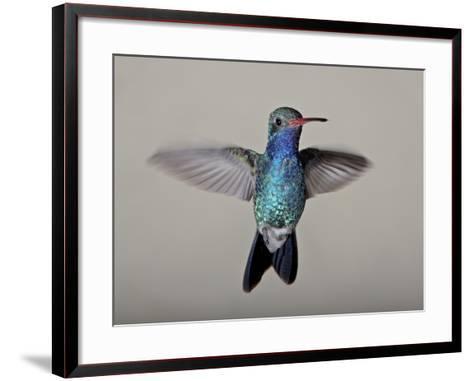 Male Broad-Billed Hummingbird in Flight, Madera Canyon, Coronado National Forest, Arizona--Framed Art Print