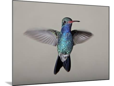Male Broad-Billed Hummingbird in Flight, Madera Canyon, Coronado National Forest, Arizona--Mounted Photographic Print
