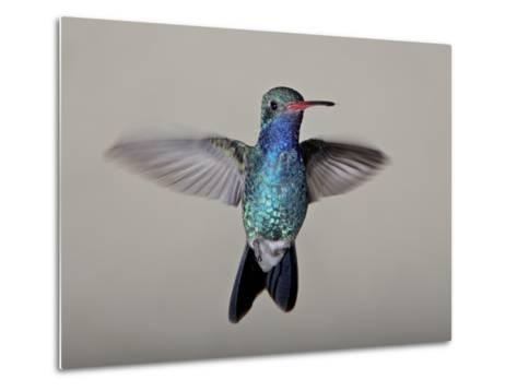 Male Broad-Billed Hummingbird in Flight, Madera Canyon, Coronado National Forest, Arizona--Metal Print