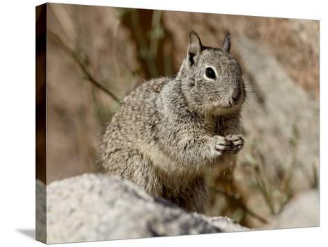 California Ground Squirrel (Citellus Beecheyi), Joshua Tree National Park, California, USA--Stretched Canvas Print