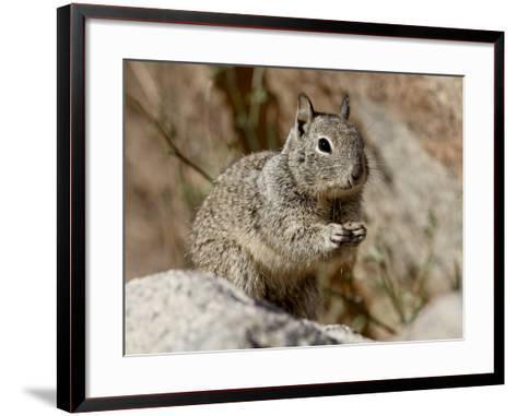 California Ground Squirrel (Citellus Beecheyi), Joshua Tree National Park, California, USA--Framed Art Print