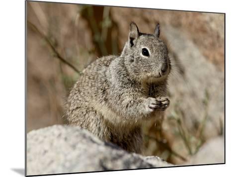 California Ground Squirrel (Citellus Beecheyi), Joshua Tree National Park, California, USA--Mounted Photographic Print